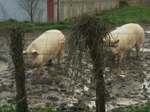 Cochons